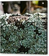 Lichens Lace Acrylic Print