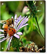 Lick Of A Bee Acrylic Print by Jenny Ellen Photography
