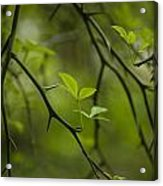 Life And Thorns Acrylic Print