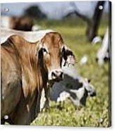 Life On The Farm Acrylic Print