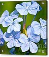 Light Blue Plumbago Flowers Acrylic Print by Carol Groenen