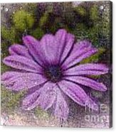 Light Purple Daisy Acrylic Print