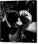 Light Study Of A Crocus Acrylic Print