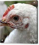 Light Sussex Cockerel Head Acrylic Print by Joanne Kocwin