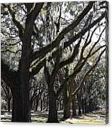 Light Through Live Oaks Acrylic Print