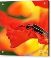 Lightning Bug On Gladiolus Acrylic Print