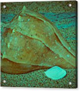 Lightning Whelk Acrylic Print