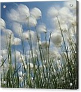 Like Spots Of White Clouds, The Aging Acrylic Print