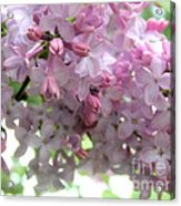 Lilac Blooms Acrylic Print