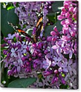 Lilac Butterfly Acrylic Print