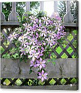 Lilac Clematis Flower Vine Basking In Sun Rays On A Wood Garden Arbour Acrylic Print