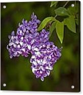 Lilac Flower Blossoms No. 319 Acrylic Print