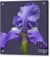 Lilac Iris Acrylic Print