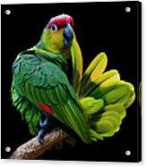 Lilacine Amazon Parrot Isolated On Black Backgro Acrylic Print