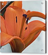 Liliaceae Orange  Acrylic Print