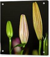 Lilies In A Row Acrylic Print