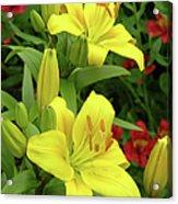 Lilies (lilium 'limelight') Acrylic Print by Tony Craddock