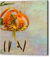 Lilium Pardalinum Acrylic Print