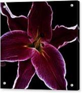 Lilium Stargazer Acrylic Print