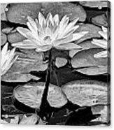 Lilly Beuaties Acrylic Print
