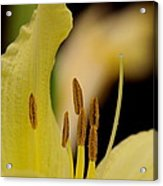 Lily - Flower - Fore And Aft Acrylic Print