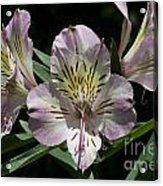 Lily - Liliaceae Acrylic Print