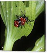 Lily Beetles Mating Acrylic Print