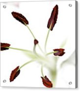 Lily Center Acrylic Print