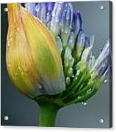 Lily Crying Acrylic Print