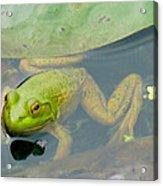 Lily Frog Acrylic Print