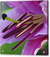 Lily In Full Bloom Acrylic Print