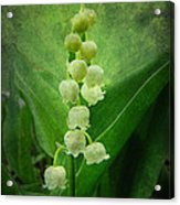 Lily Of The Valley - Convallaria Majalis Acrylic Print