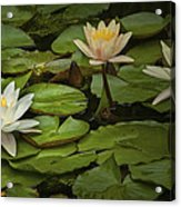 Lily Pads And Blossoms. No186 Acrylic Print