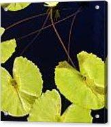 Lily Pads And Lotus Blossom Acrylic Print