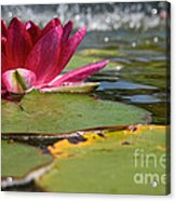 Lily Pads And Petals Acrylic Print