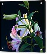 Lily Pod To Flower Acrylic Print
