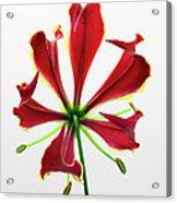 Lily Still Life 2 Acrylic Print