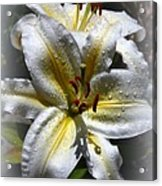 Lily Sweet Lily Acrylic Print