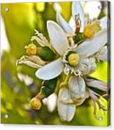 Lime Blooms And Fruit Acrylic Print