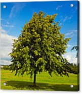 Lime Tree In Summer Acrylic Print