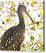 Limpkin Luster Acrylic Print
