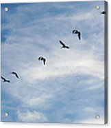 Linear Flock Of Pelicans Acrylic Print
