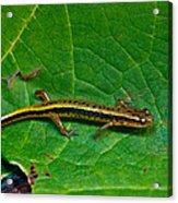 Lined Salamander 2 Acrylic Print