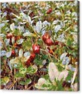 Lingonberry Acrylic Print