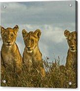 Lion Cubs Serengeti National Park Acrylic Print