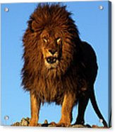 Lion In The Sky Acrylic Print