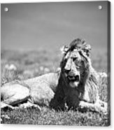 Lion King In Black And White Acrylic Print