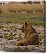 Lion Lazy Acrylic Print