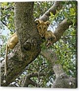 Lion Lookout Acrylic Print