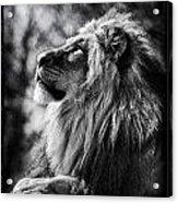 Lion Meditating Acrylic Print